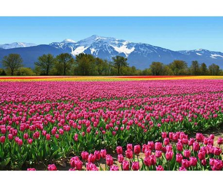 Tapet Tulips 254x366 cm